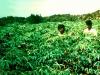 015-mittleider-garden