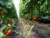 4-jims-grnhse-tomatoes