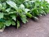 eggplant-needs-pruning