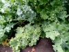 kale-needs-pruning