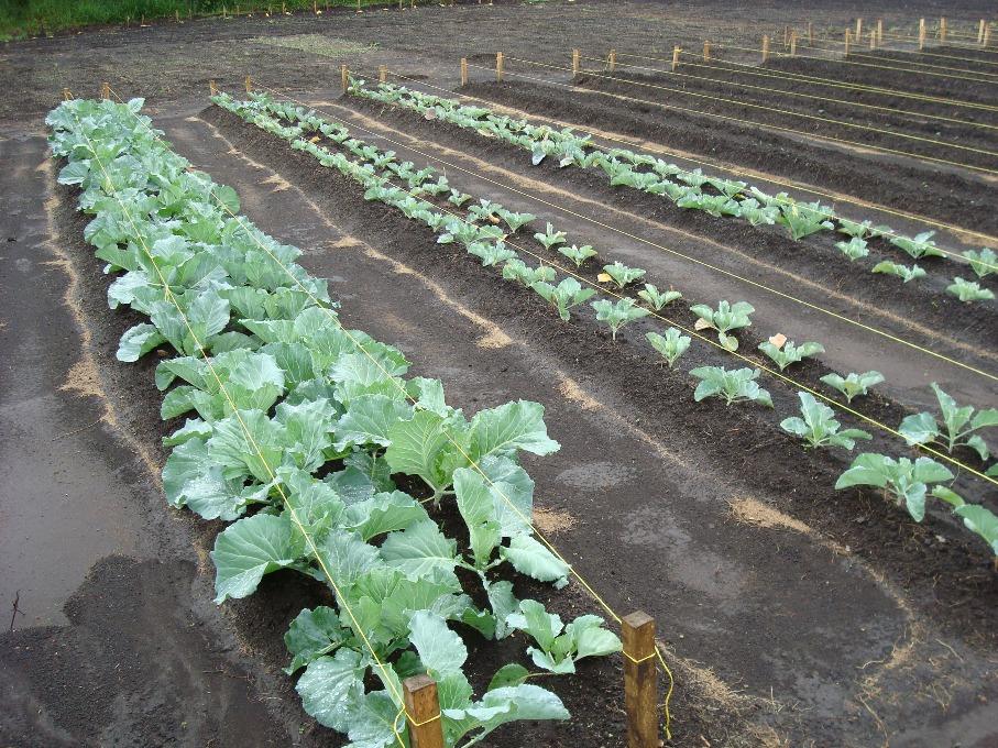 Fertilizer Experiment Cabbage 3