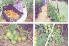 Tomato harvests