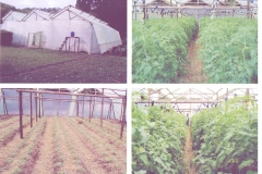 Greenhouse & Tomatoes